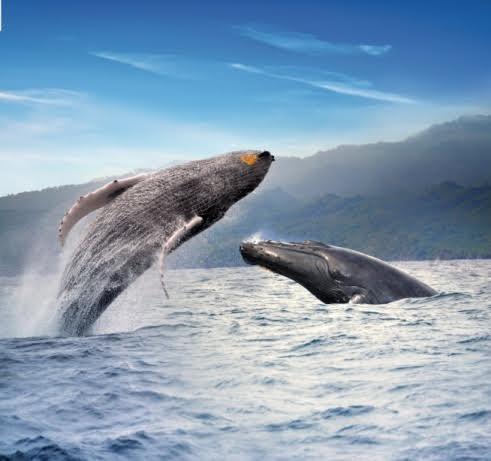 RD elige el Susurrador de Ballenas 2020 en el 10mo aniversario de la campaña.