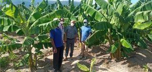 El subdirector Operativo del FEDA, Mártires Montero, junto a productores de plátano en una finca de Las Salinas.