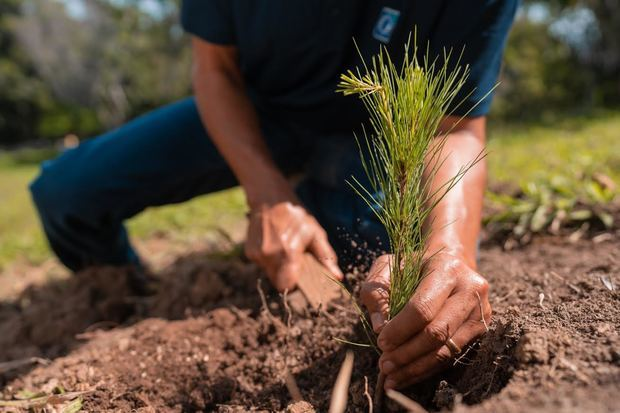 En esta primera jornada de reforestación del 2021 se sembraron las variedades pino caribaea y occidentalis, mara, gabirma y guázara.