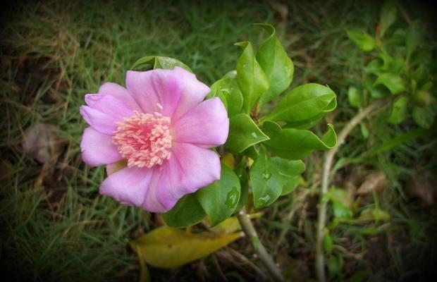 Rosa de Bayahíbe.