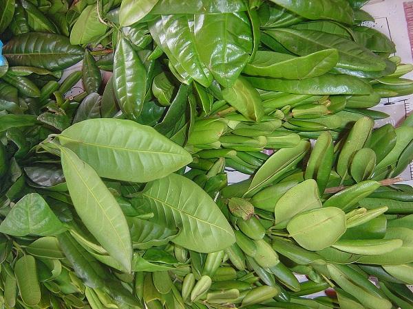 Apadrinar una planta, nueva fórmula para evitar extinción de flora dominicana