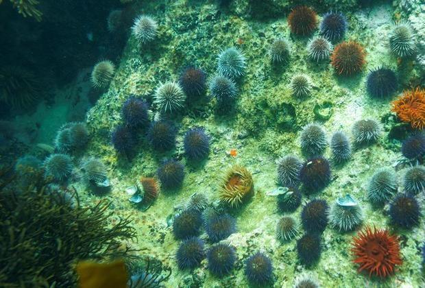 Vista de unos erizos de mar y otras plantas marinas que viven en un bosque de quelpo.