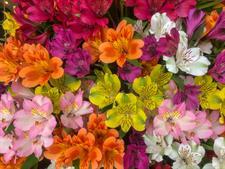 Desde Miami se distribuirán 89 millones de flores para la fiesta del amor en EE.UU.