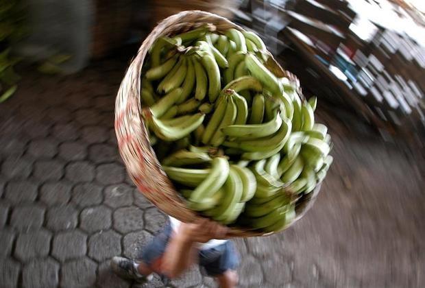 El banano ha sido el principal rubro de exportación de Panamá, representando en los dos últimos años el 15 por ciento de las exportaciones totales, según cifras oficiales.