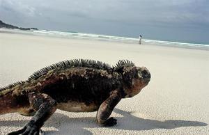 Una iguana marina camina por la playa Tortuga Bay del Parque Nacional Galápagos en la isla Santa Cruz del archipiélago de las islas Galápagos, situado a mil kilómetros de las costas continentales de Ecuador.