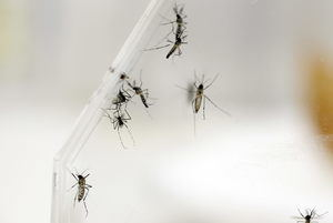 Imagen de varios mosquitos Aedes Aegypti en el laboratorio del departamento de Entomología del Centro para el Control y Prevención de las Enfermedades (CDC), en San Juan (Puerto Rico).