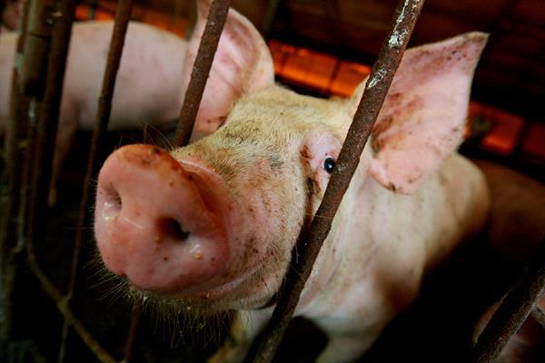 El brote de peste porcina africana se extiende a 11 provincias