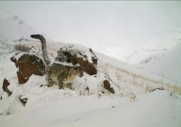 El cambio climático aboca al conflicto a hombres y leopardos en Asia Central