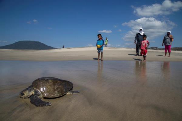 Fotografía de archivo fechada el 5 de noviembre de 2018, que muestra a una tortuga bañada de aceite, debido a un derrame en las costas de Salina Cruz, en el estado de Oaxaca (México).