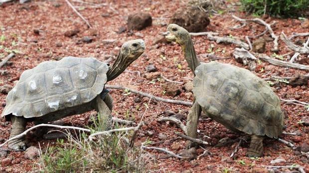 Liberan a 191 tortugas gigantes en una isla del archipiélago de Galápagos
