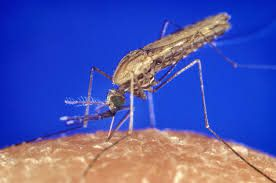 El mosquito Anófeles