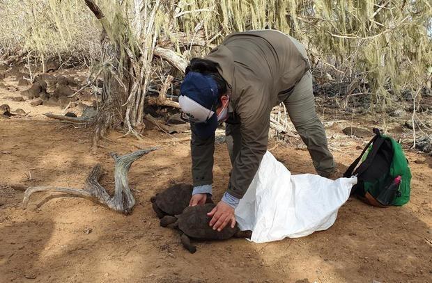 Fotografía cedida por Parque Galápagos fechada el 25 de septiembre en la que se aprecia a un funcionario del Parque que extrae de unos saquillos unas tortugas para devolverlas a su hábitat en la isla San Cristóbal, del archipiélago ecuatoriano.