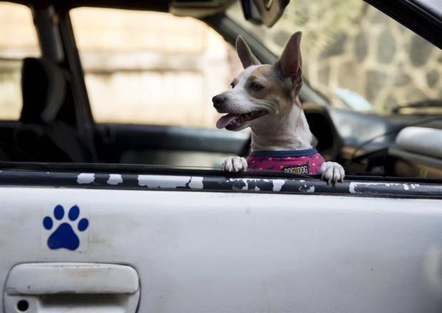Un perro fue registrado al ser trasladado a una veterinaria, en el transporte para mascotas pelutaxis peluditos, en Managua, Nicaragua.