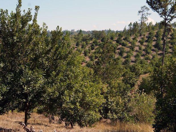 La iniciativa inicia con 200 pequeños productores que cultivan macadamia.