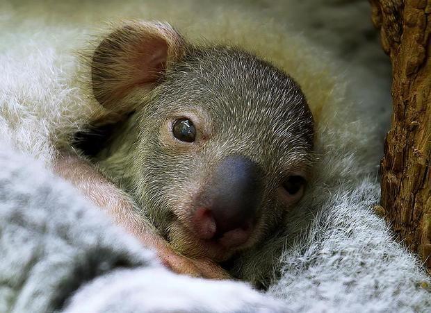 Pequeño koala apadrinado por Dominic Thiem -la tercera raqueta del mundo- en el zoo de Schönbrunn, en Viena, y que nació el día después de su victoria en el Abierto de Estados Unidos el pasado mes de septiembre.