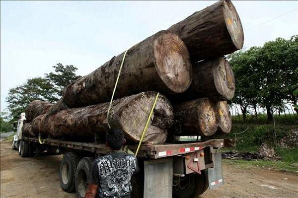 Allanan aserradero en Bonao por procesamiento ilegal de madera