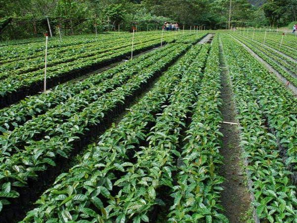 El país incorpora casi 300,000 tareas de café.