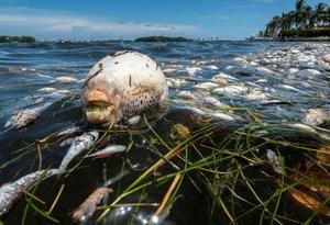 Miles de peces muertos se ven en la costa de la Bahía Vizcaína (Biscayne Bay) en Miami, Florida, EE.UU., este 11 de agosto de 2020.