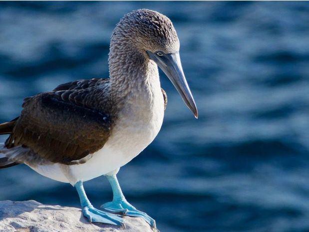 Un piquero patas azulez en las Islas Galápagos, Ecuador.