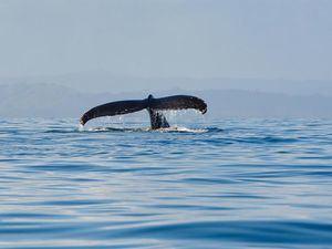Fotografía cedida por el Ministerio de Medio Ambiente que muestra el avistamiento de una ballena jorobada el 4 de febrero de 2021, en Samaná, República Dominicana.