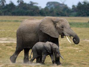 Dos especies de elefantes africanos están en peligro de extinción,