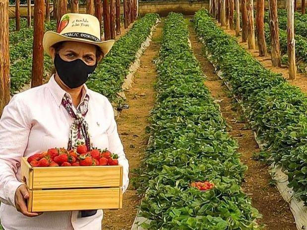 Fresas Ariyama, entre fresas y pinos