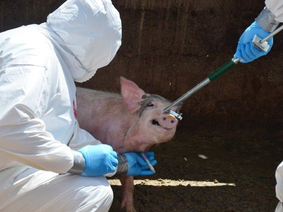 Un equipo ayudará a detectar la peste porcina en menos de 2 horas en el país