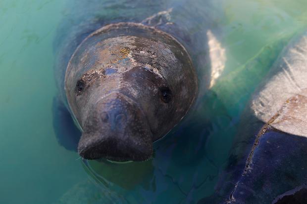 El dinero busca salvar del hambre a esta especie icónica de Florida afectada por la pérdida de pastos marinos y ayudar a centros de rehabilitación que albergan medio centenar de manatíes enfermos. Foto de archivo.