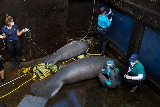 Grupo de especialistas prepara a los manatíes para devolverlos al mar.