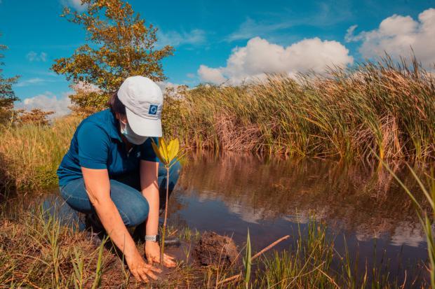 Empleados de Grupo Popular siembran 600 mangles en el Botánico de Santiago