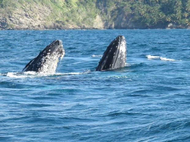 República Dominicana es el país donde más cantan las ballenas jorobadas