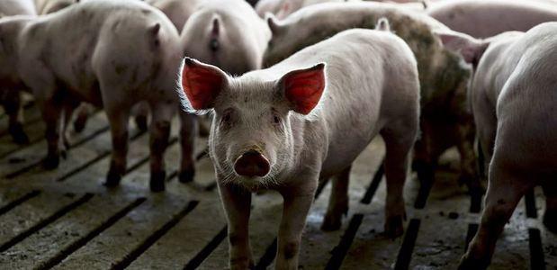 Emplazan a productores informales de cerdos a eliminar criaderos en Pedernales