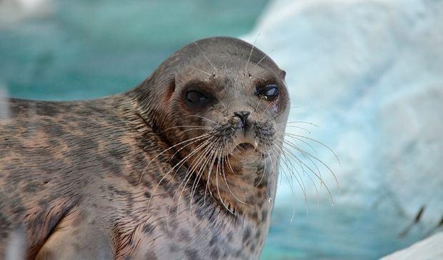 Las focas anilladas del Ártico amenaza por la falta de nieve
