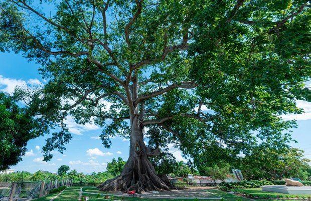 Santiago se une a la celebración del Día del Árbol con el arbusto más viejo del país