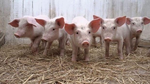 Llega al país equipo desde EE.UU. que detecta la peste porcina en 48 horas.