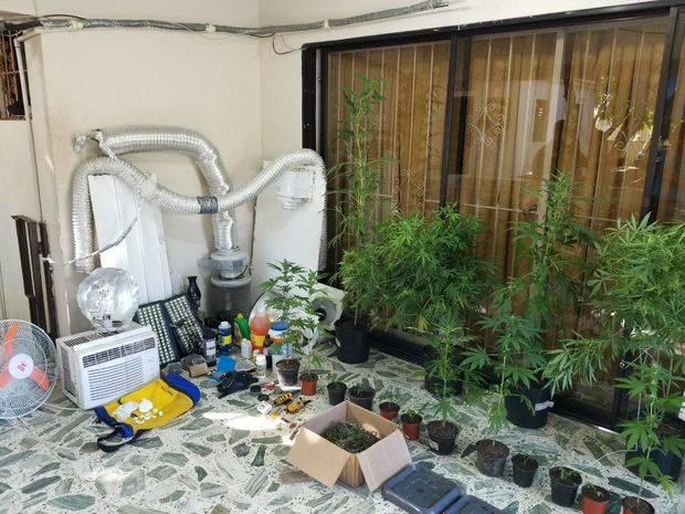 Decomisan plantación de marihuana y ocupan mas de 249 mil dólares en el Distrito Nacional