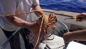 Armada ocupa en Puerto Plata 537 sacos de langosta, que se encuentra en veda