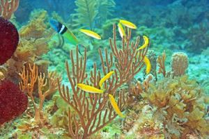 Fotografía cedida por Kevin Bryant kevin de la Universidad de Otago, en Nueva Zelanda, donde aparece un pez macho (i) mientras defiende a un grupo de hembras, en amarillo.