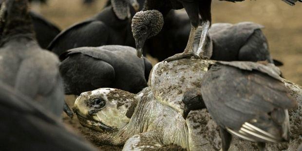 La vigilancia satelital vital para la conservación de las tortugas marinas