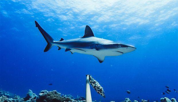 Se extinguen los tiburones en República Dominicana y otras partes del mundo