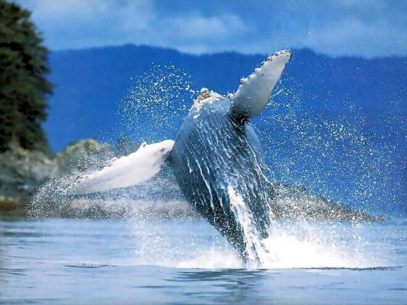 Cada año entre enero y marzo, las ballenas jorobadas del Atlántico Norte visitan El Santuario Marino que está situado aproximadamente a 80 millas náuticas frente a la costa norte de la República Dominicana, muy cerca de nuestros hoteles de Samana y Puerto Plata.