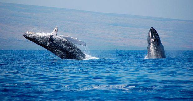 Ministerio de Medio Ambiente y Turismo dan inicio a temporada de Ballenas Jorobadas 2020