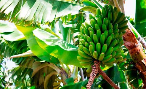Cultivos de banano.