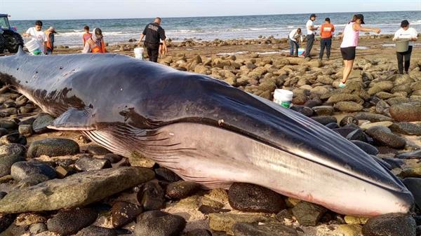 Vista del varamiento y muerte de una ballena de aleta o rorcual común (Balaenoptera physalus), ocurridos esta semana en Puerto Peñasco, en el estado de Sonora.