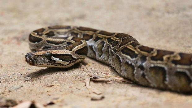 Autoridades dominicanas decomisan una boa constrictor y una pitón real