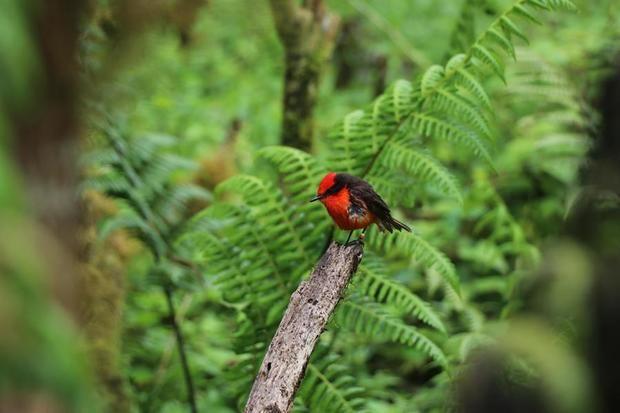 Nacen en Galápagos seis pichones de pájaro brujo, en peligro de extinción