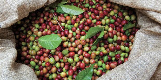 Afirman plantaciones de café se recuperan con éxito