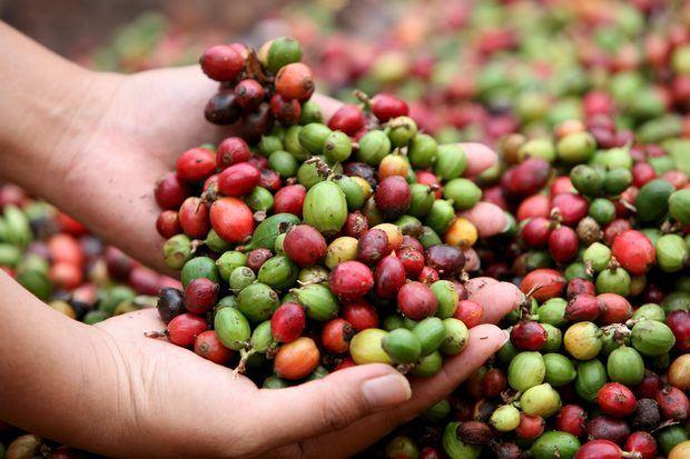 Señalan retos de producción de café en RD ante el cambio climático