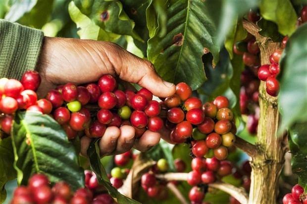El SICA buscará apoyo financiero para potenciar caficultura en Centroamérica