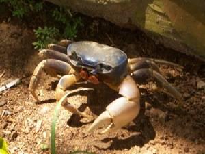 El nuevo período de veda de captura de cangrejos es desdel 1 de marzo y el 30 de junio